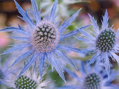 I Have A Love For Funky, Fun And Unique Garden Plants. Hereu0027s One To Try.  Itu0027s Called Sea Holly, And Itu0027s Actually In The Thistle Family.